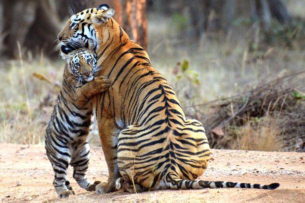 PAY-A-tiger-cub-hugging-its-mother-at-the-Tadoba-Andhari-Tiger-Reserve-in-India