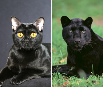 bombay-and-panther-split
