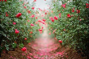 H092_Roses