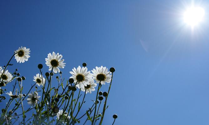 Oxeye daisies in sun.b jpg