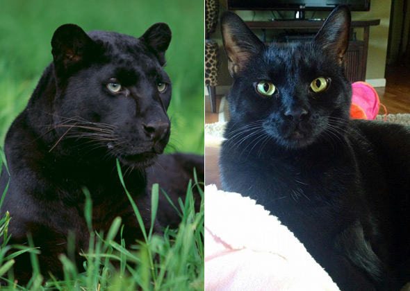 panther-and-cat-590lc090414