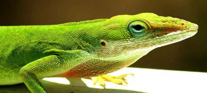 6125-green-anole-745-cfe44aec