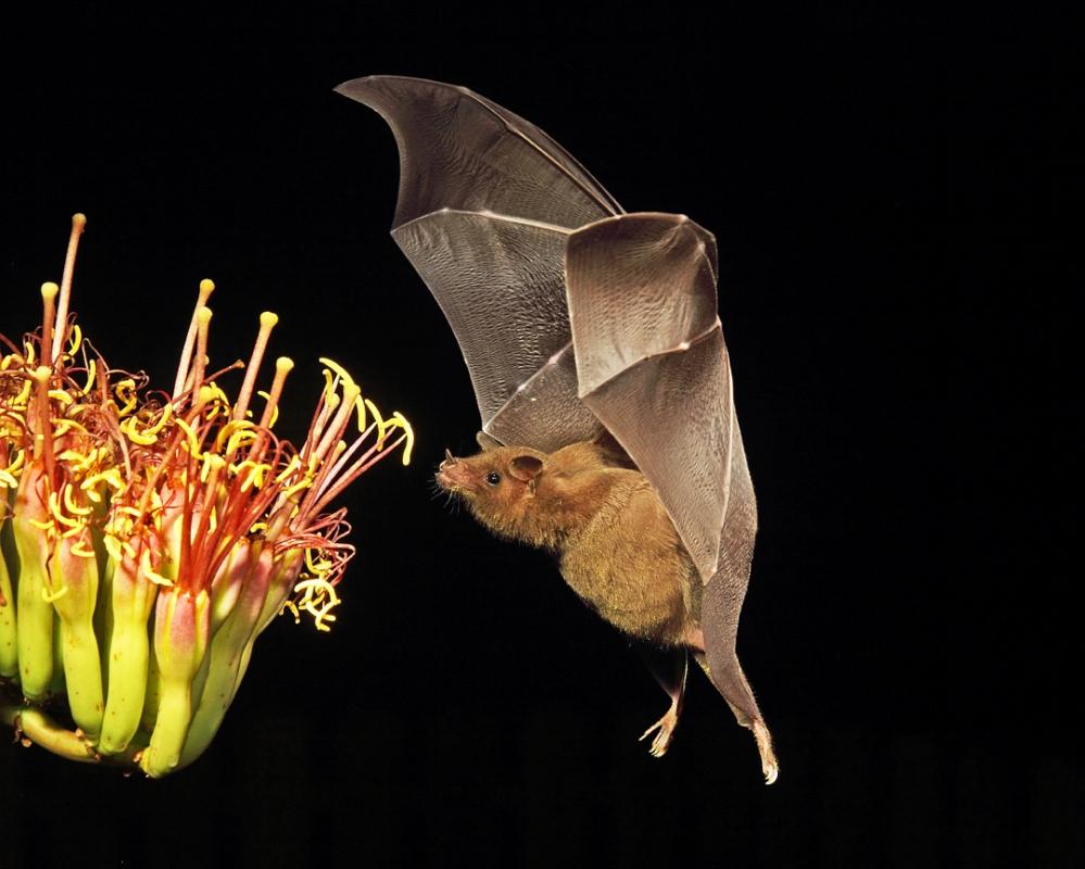 Bat-John_Hoffman