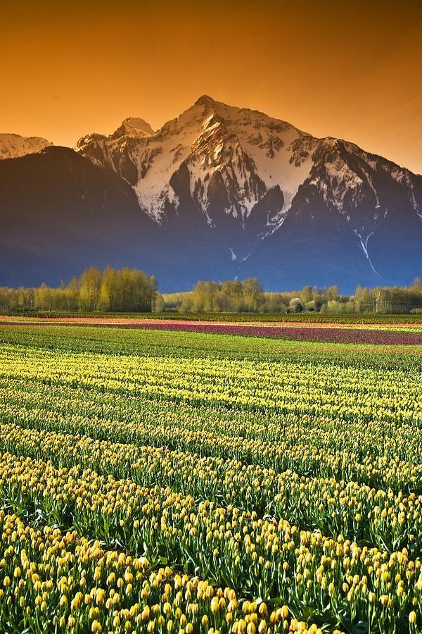 bfff34108503b89dfea4db5f1f658bdc--tulip-fields-british-columbia
