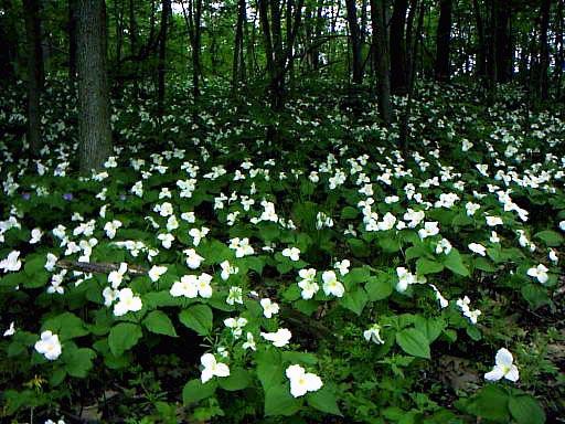 field-of-trilliums