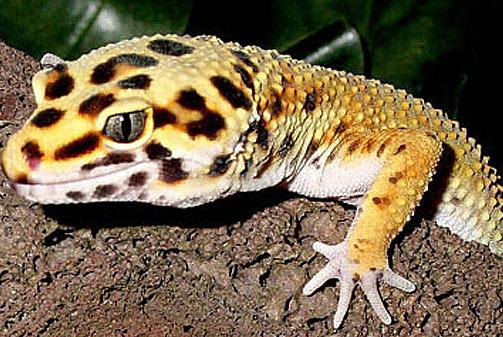 leopard-gecko-yellow