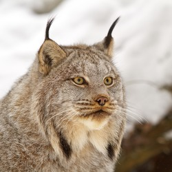 Lynx Cat pictures Canadian linx_w250_h250_cw250_ch250_thumb