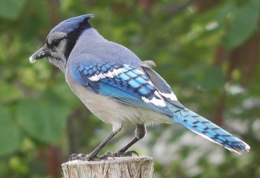 Male-Bluejay