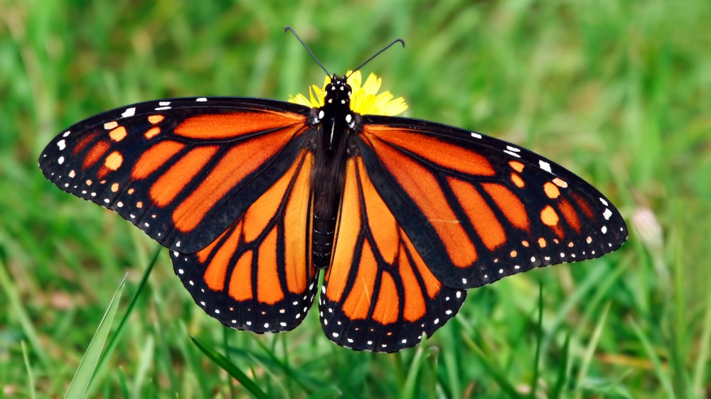 monarch-butterfly-grass.ngsversion.1396530842099