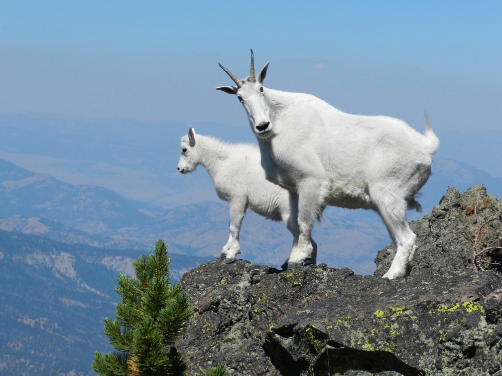 mountain-goats-have-incredible-cliff-climbing-skills--heres-how-they-do-it