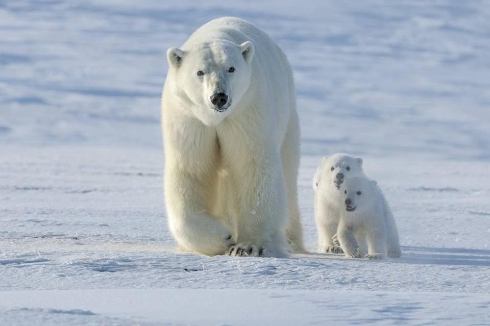 Polar-bear-family-Thon-Huijser