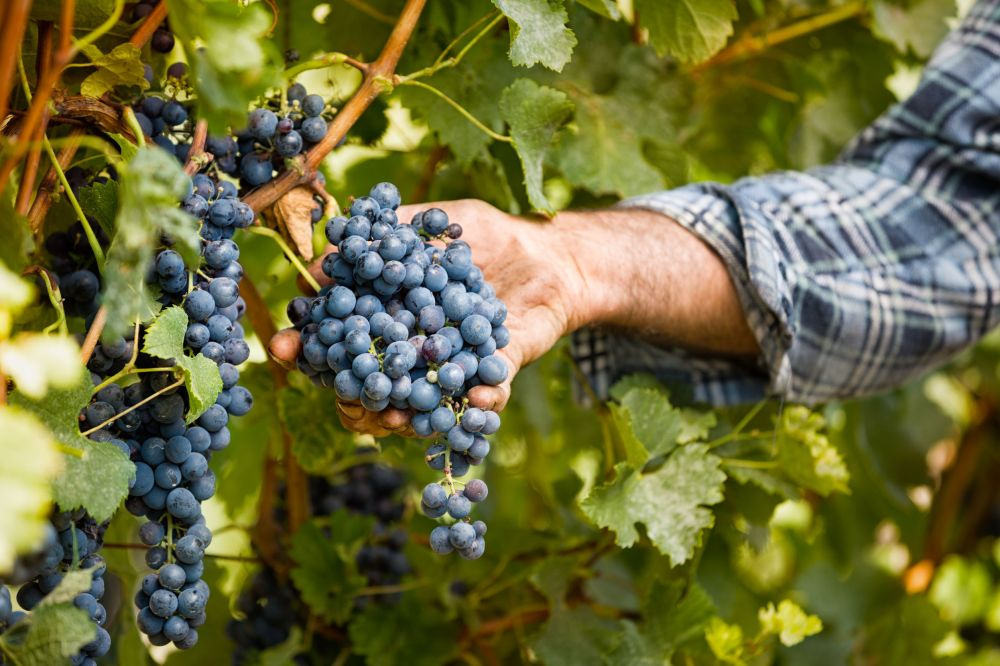 46091171 - grapes harvest in vineyard, close up