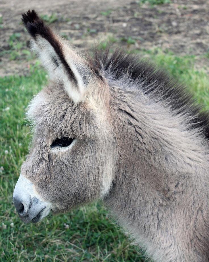 220c36634014a0e1f9332aefdbe22799--muli-baby-donkey