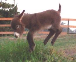 jumping-baby-donkey
