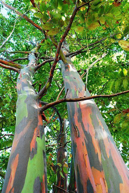 c6eb7ca55f425885b9308af27a0cd3a0--rainbow-eucalyptus-tree-road-to-hana