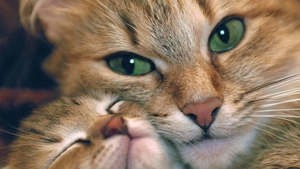 cat_kitten_tenderness_caring_face_59317_1366x768