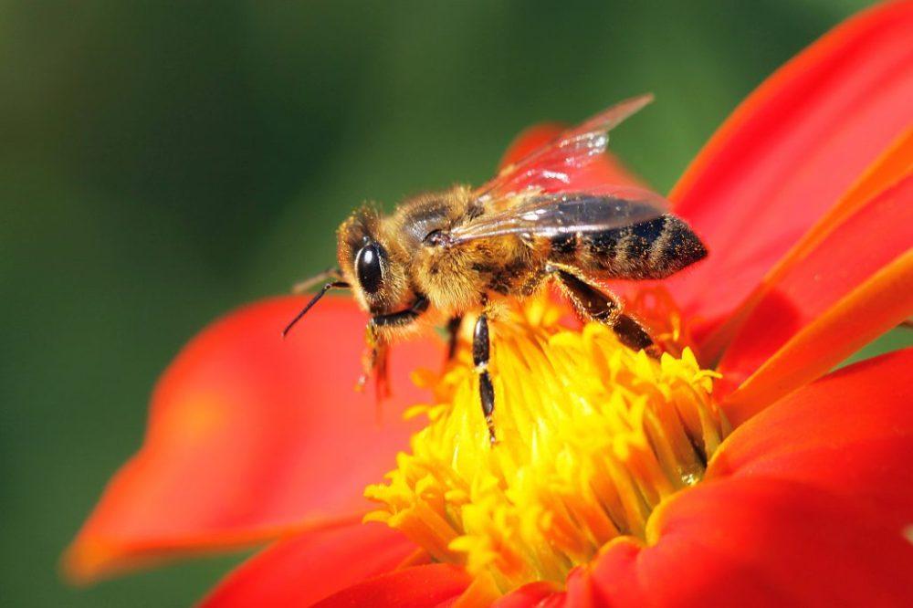 honeybee_AdobeStock_123517981-1024x683