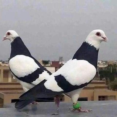312f4659e1f55a5c799a1bddc2b7c317--pigeon-nest-dove-pigeon