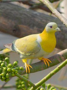 3c7328e59631caf495e2ede86a95bf49--pigeon-bird-pretty-birds