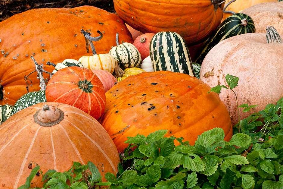 Assorted-pumpkins-and-squashes_WSYD0017895