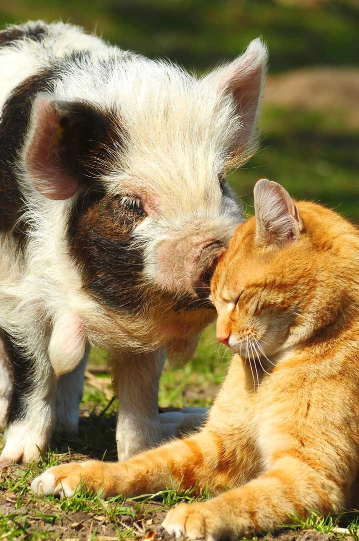 ba1fee0bd62e716a30f7b9099ad11335--tabby-cats-pet-dogs