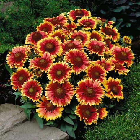 c4586351d5b7aebf44a228d25541f04e--daisy-flowers-sun-loving-flowers