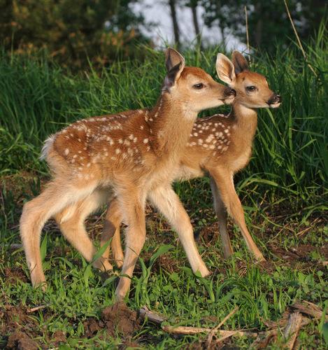fawn-deer-baby-animals-19818144-469-500