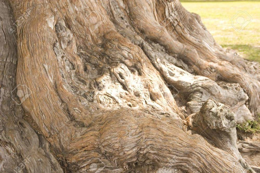 3096767-Trunk-and-roots-of-an-ancient-oak-tree-on-the-coast-Stock-Photo