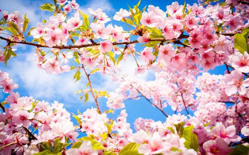 6356265956775845191660892217_cherry-blossom-spring1