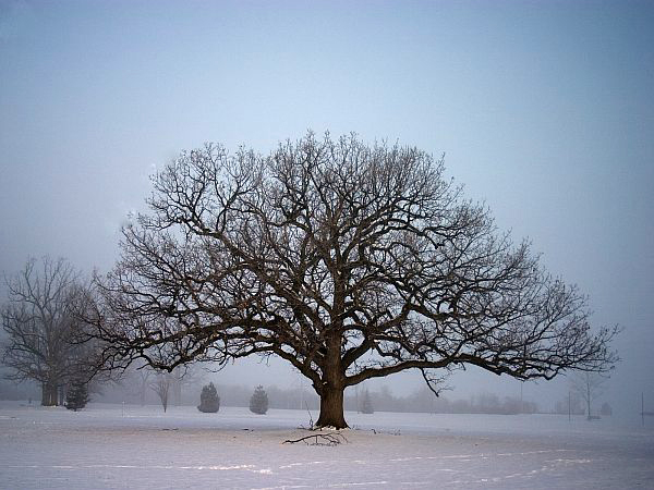consultation-winter-oak-tree