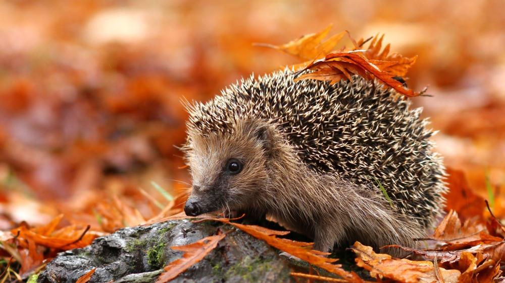 hedgehog-poems-autumn-poetry