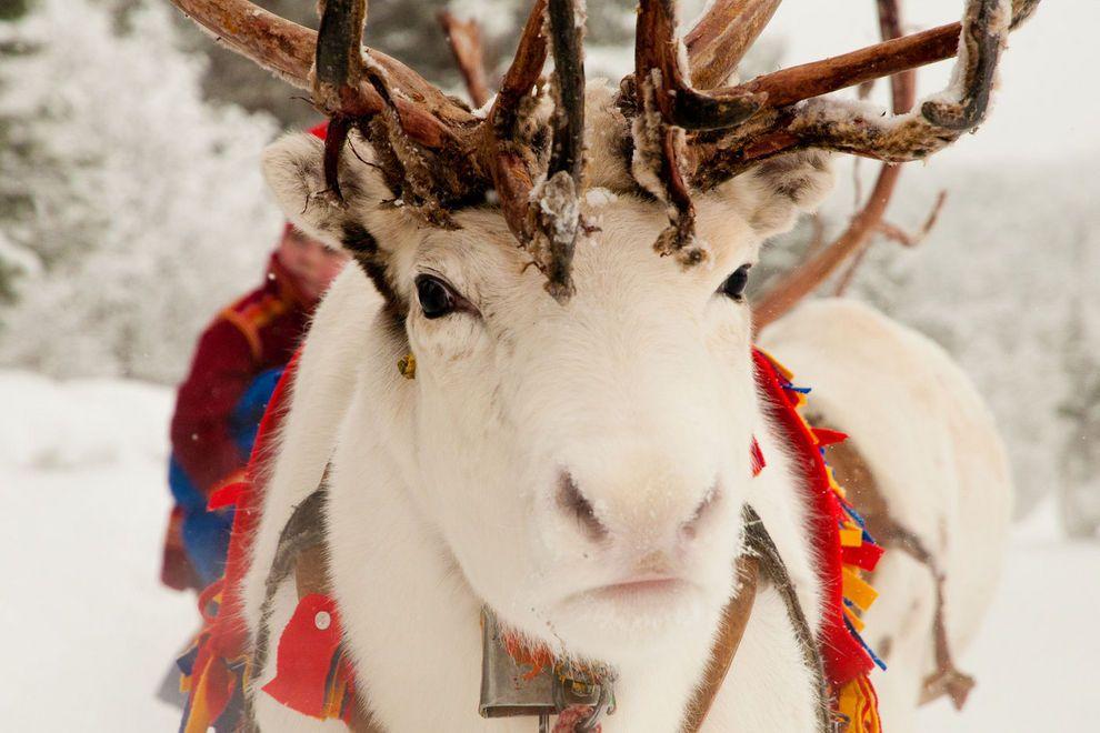 lola-akinmade--kerstr-m-white-reindeer-1605_54_990x660