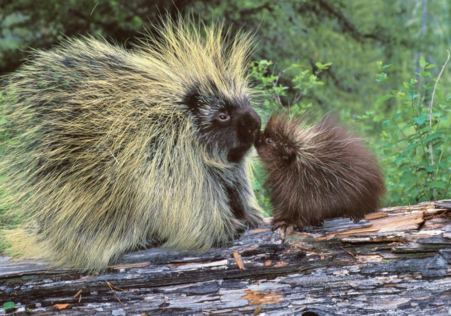 porcupine-family-notecard-88
