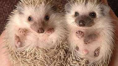 pygmy-hedgehogs