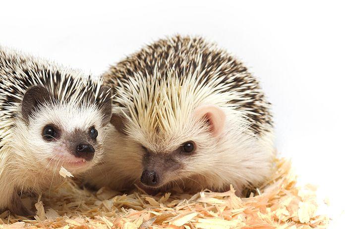 two_hedgehogs.jpg.696x0_q80_crop-smart