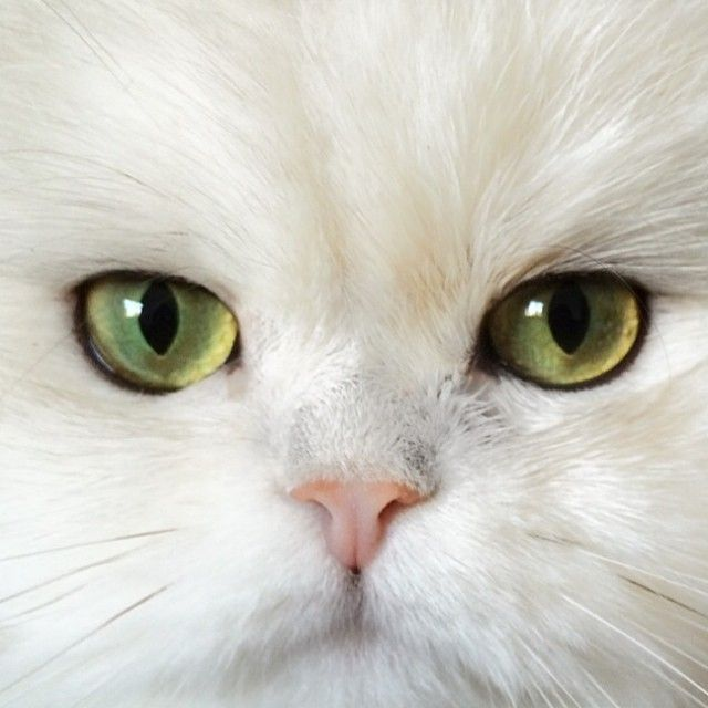 3ec1a40995af4f82275c2920c1bd4819--white-persian-cats-white-cats