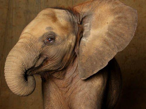 bac278723229889c26d00fecdc829f39--elephant-talk-baby-faces