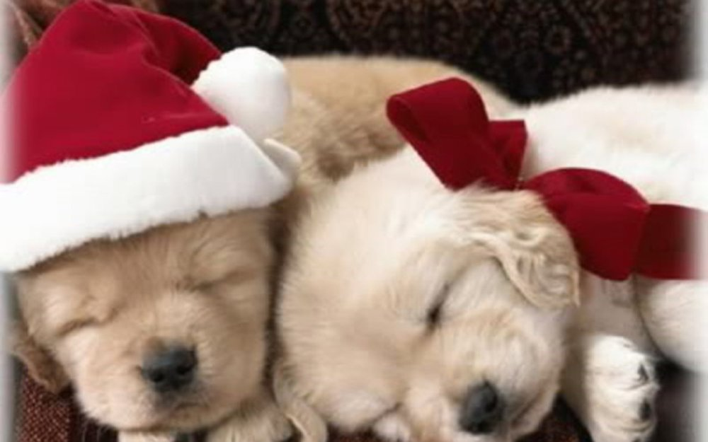 Christmas-Puppy-puppies-15897189-1280-800