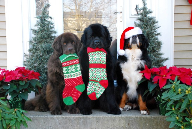 Cute-Christmas-Dogs-Card-640x430