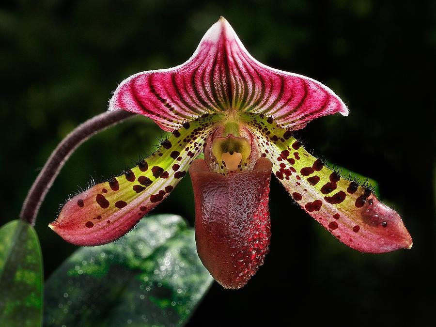 dragon-orchid-jean-noren