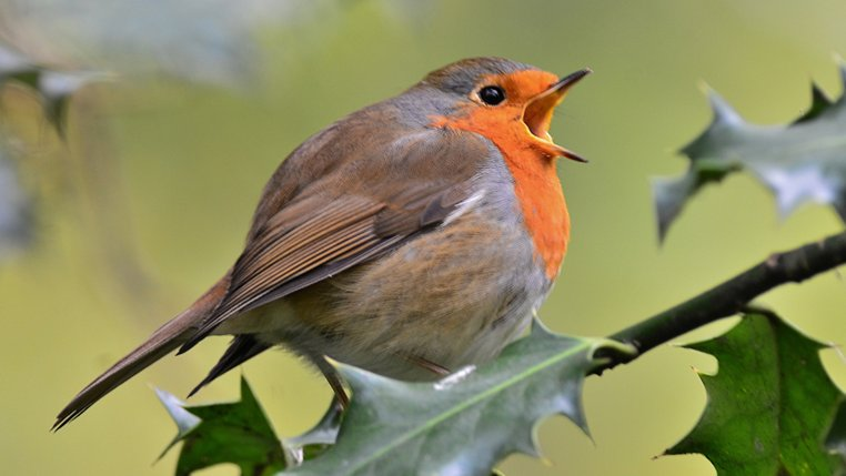 Robin-singing-Strumpshaw-Fen-Elizabeth-Dack-14-November-2013