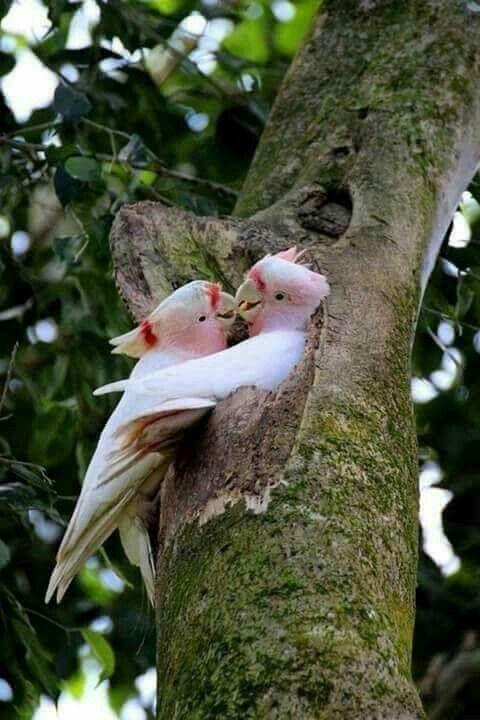 29245e0755d18c2383b668c4d139f1a6--love-birds-for-the-birds