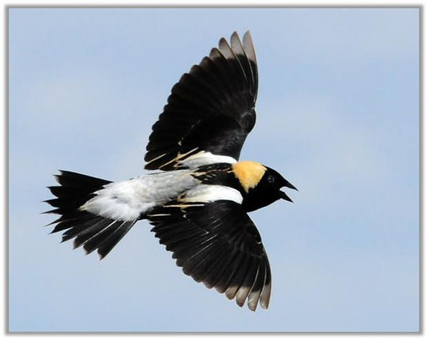 bobolink_in_flight_photo_credit_paul_higgins