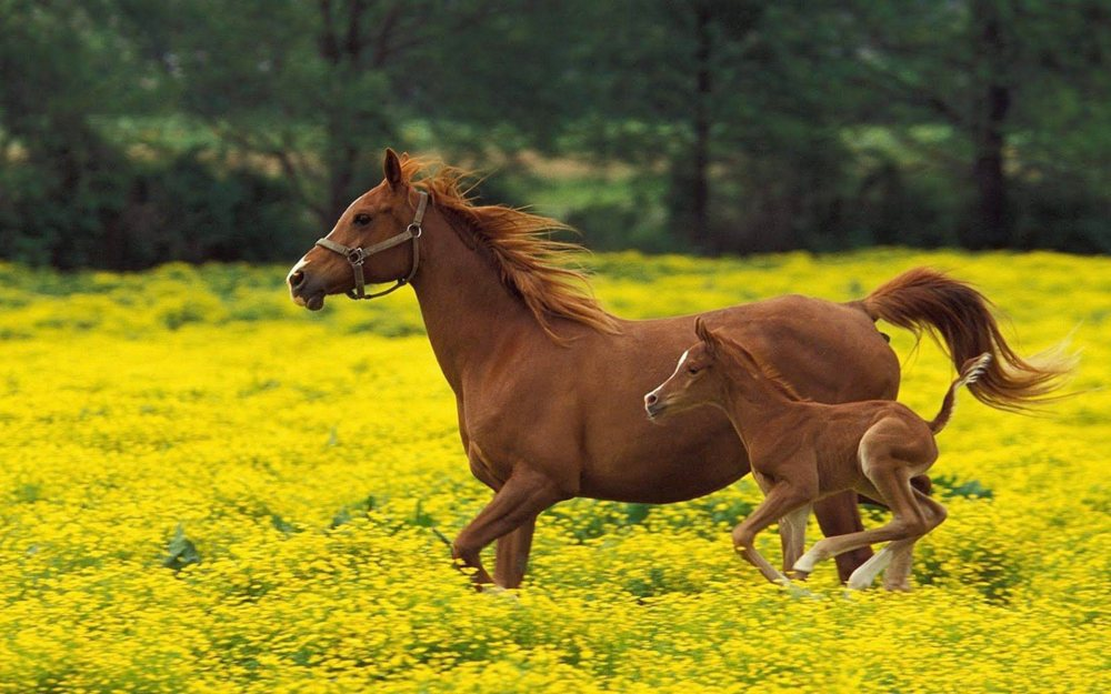Horse-With-Baby-Horse-In-Flowers-Ground-HD-Wallpaper-03202