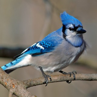 small-worlds-prettiest-bird-a-very-curious-bird-blue-bird