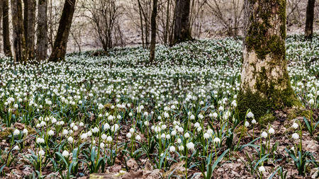 37932784-lovely-white-and-wild-snowflake-leucojum-flowers-in-early-march-in-a-german-forest-lovely-bokeh-and-