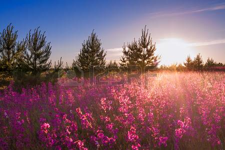 43294236-summer-landscape-with-the-blossoming-meadow-at-sunrise