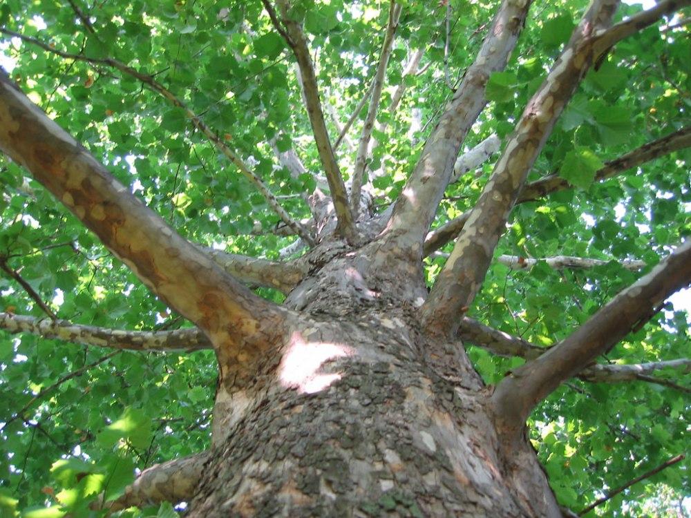 Sycamore_tree_bark