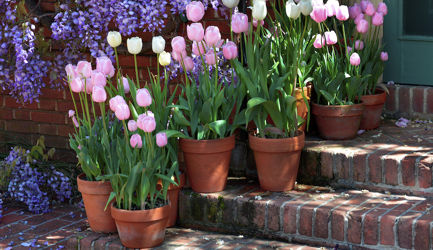 Tulips and Wisteria annonce spring