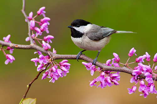 chickadees-in-the-spring